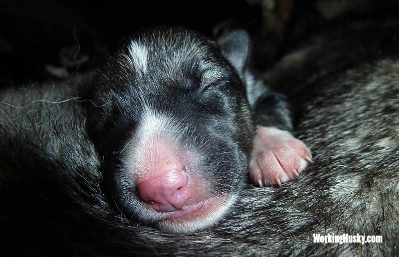 Siberian_husky_puppy