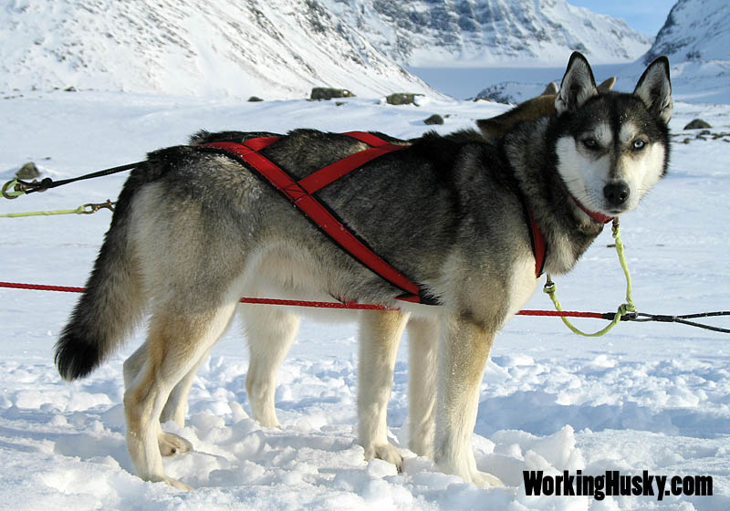 Working_husky_hilda