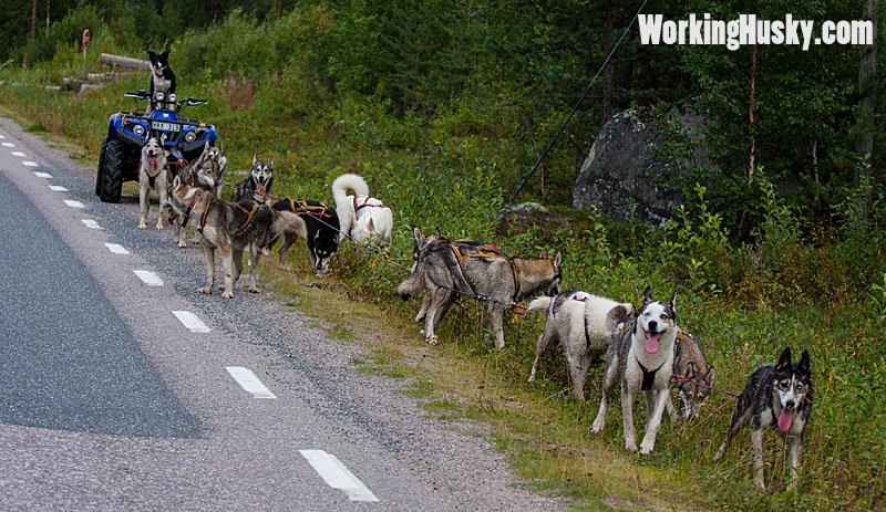 Höstträning_hundspann_2