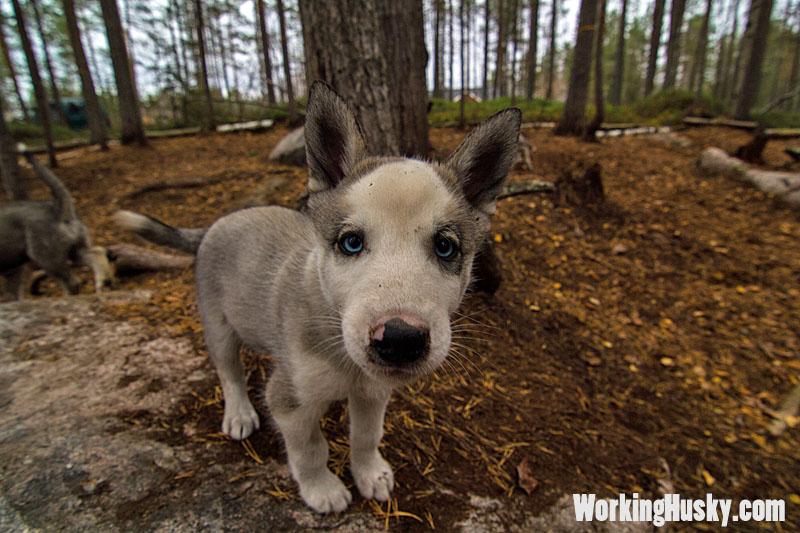 Working_Husky_Beppe